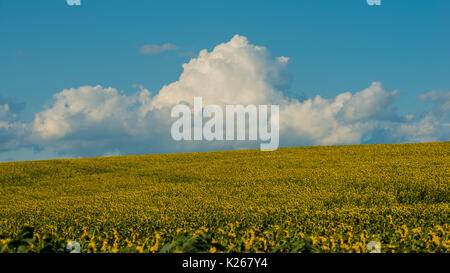 Clouds and the field of a blossoming sunflower in August. Landscape. Panorama. Ukraine. Europe. - Stock Photo