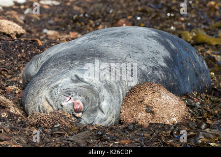 Male Elephant Seal snoozing showing trauma from previous battles Carcass Island Falklands Malvinas - Stock Photo