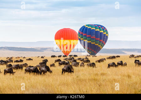 View of two hot air balloons rising over a herd of blue wildebeest (Connochaetes taurinus) in the savannah in the - Stock Photo