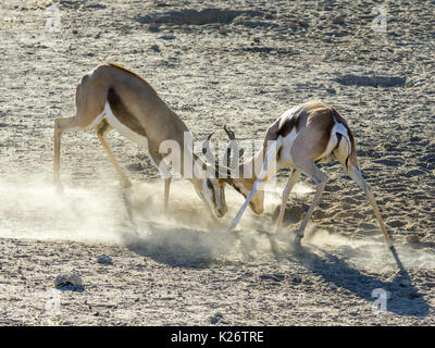 Playful fight between young impalas (Aepyceros), Kgalagadi Transfrontier National Park, North Cape, South Africa - Stock Photo