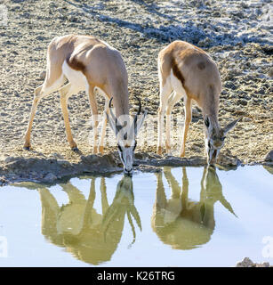 Impalas (Aepyceros) drinking at waterhole, Kgalagadi Transfrontier National Park, North Cape, South Africa - Stock Photo