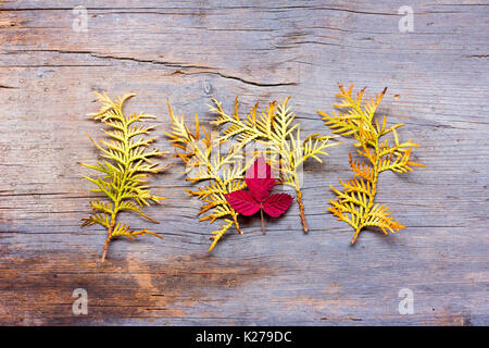 Golden needles of arborvitae shrub and the crimson leaf of wild blackberries on a background of old boards bleached - Stock Photo