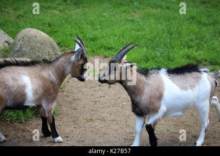 Two goats fighting - Stock Photo