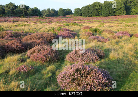 Heather plants, Calluna vulgaris, heathland vegetation, Sutton Heath, Suffolk Sandlings, Shottisham, England, UK - Stock Photo