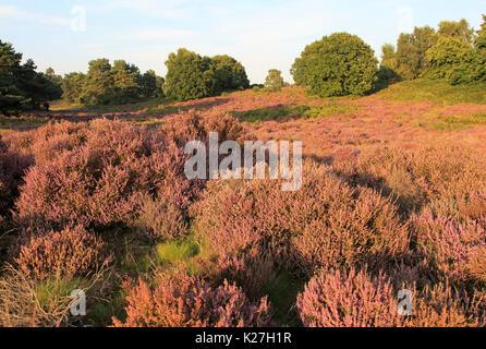Heather plants, Calluna vulgaris, heathland vegetation, Sutton Heath, Suffolk Sandlings, Shottisham, England, UK - Stock Photo