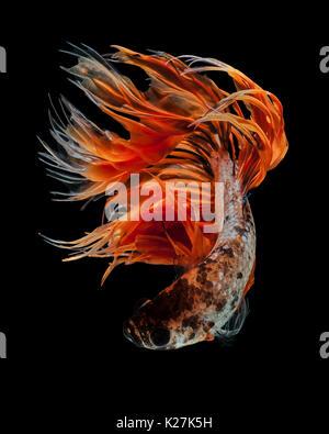 Betta fish, siamese fighting fish 'Orange Fancy Crowntails' isolated on black background beautiful movement macro - Stock Photo