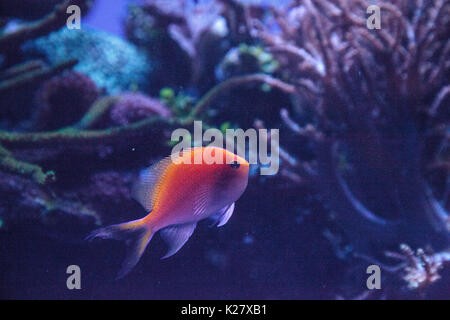 Sunburst anthias fish Serranocirrhitus latus also called Hawkfish anthias - Stock Photo