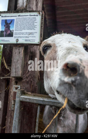 Close up of a nosey Miniature Mediterranean donkey at Lancaster Park and Animal Farm, Chadderton, near Oldham, Greater - Stock Photo