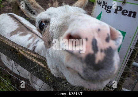 Close up of a nosey miniature donkey at Lancaster Park and Animal Farm, Chadderton, near Oldham, Greater Manchester, - Stock Photo