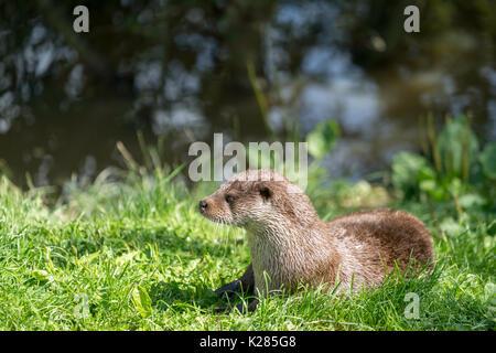 Eurasian Otter (Lutra lutra) Sitting in the Sunshine - Stock Photo