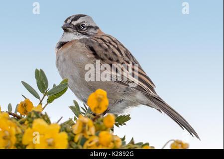 Rufous-collared Sparrow (Zonotrichia capensis) Lake Titicaca Peru - Stock Photo