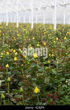 MOERKAPELLE, WESTLAND, THE NETHERLANDS - JUNE 5, 2017: Yellow Roses growing in a large modern greenhouse. - Stock Photo
