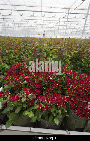 MOERKAPELLE, WESTLAND, THE NETHERLANDS - JUNE 5, 2017: Freshly cut red Roses in a large modern greenhouse. - Stock Photo