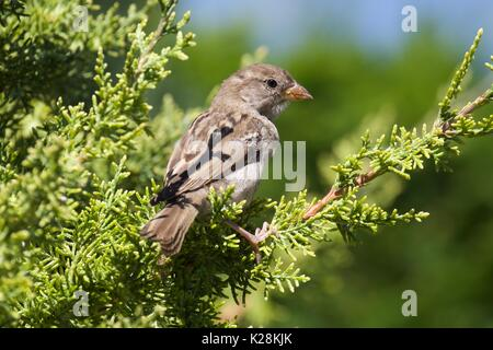 House Sparrow perched on a tree - Stock Photo