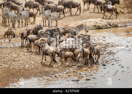 Herd of blue wildebeest (Connochaetes taurinus) and plains zebra (Equus burchellii) nervously stand by the River - Stock Photo