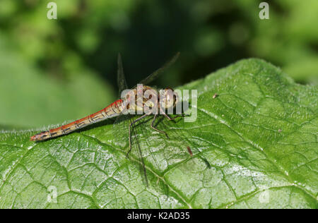 A Common Darter Dragonfly (Sympetrum striolatum) perched on a leaf. - Stock Photo