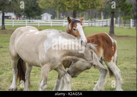 Gypsy Vanner Horse 2 year old and weanling colts romp and play - Stock Photo