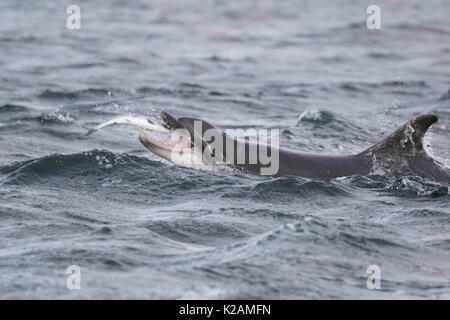 Bottlenose Dolphin (Tursiops truncatus) eating salmon (Salmo salar) in the Moray Firth, Chanonry Point, Scotland, - Stock Photo