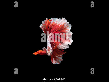 Beta Fighting Fish,Siamese fighting fish - Stock Photo