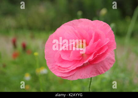 Double Shirley poppy (Papaver rhoeas), a hardy annual with pastel colours and silken, flowering in an English pictorial meadow at mid summer