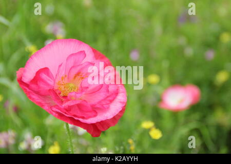 Double Shirley poppy (Papaver rhoeas), a hardy annual with pastel colours and silken petals, flowering in an English pictorial meadow at mid summer