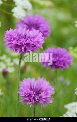 Purple cornflowers (Centaurea cyanus) and Bishop's Flower (Ammi majus) annual form a pictorial meadow in an English - Stock Photo