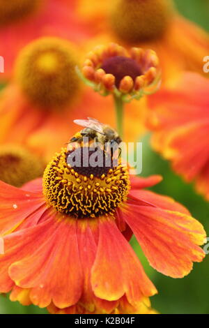 European Honey Bee (Apies Mellifera), drinking nectar from Helenium 'Waltraut', (Sneezeweed), in the border of an - Stock Photo