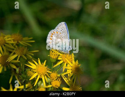 Male common blue butterfly, polyommatus icarus, feeding on a Ragwort flower, Jacobaea vulgaris, Lancashire, UK - Stock Photo