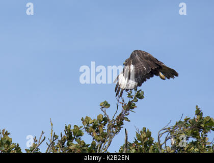 Common buzzard, Buteo buteo, in flight against blue sky, in Lancashire, UK - Stock Photo