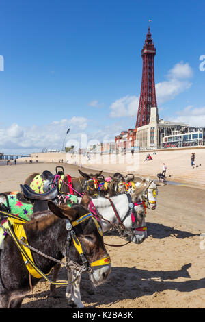 Blackpool, Fylde Coast, Lancashire, England. Donkeys on the beach.  The Blackpool Tower in the background.  Opened - Stock Photo