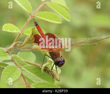 Carolina saddlebags is a beautiful red dragonfly with violet colors on it's head and is native to eastern North - Stock Photo