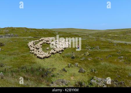 Flock of sheep on hillside, Extremadura, Spain, April. - Stock Photo