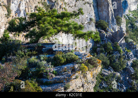 European black pine tree (Pinus nigra) growing on cliffs, Pradell-La Argentera Mountain Range Area of Natural Interest, - Stock Photo
