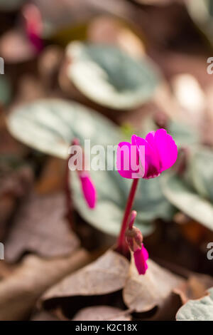 Early flower color magenta cyclamen growing in the forest close-up, shallow depth of field - Stock Photo