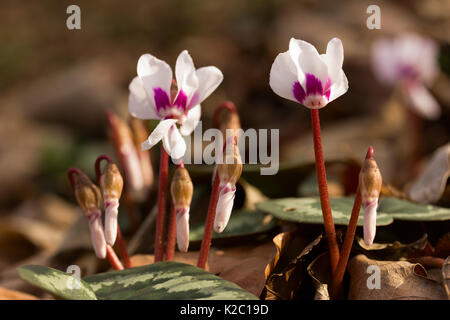 white cyclamen flowers growing in the woods in the Caucasus in winter. shallow depth of field, selective focus - Stock Photo