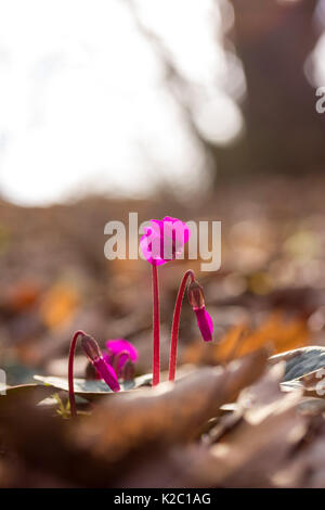 the primroses. purple flowers cyclamen on a background of morning light in the winter forest in the South of Russia. - Stock Photo