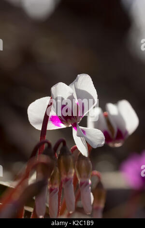 white cyclamen flowers on a background of morning light in the winter forest in the South of Russia. selective focus, - Stock Photo