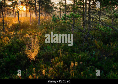 Dew covered spiderwebs in Scots pine (Pinus sylvestris) forest bog at sunrise, Tartumaa, Estonia, July. - Stock Photo