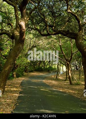 Southern Live Oak Grove Over Driveway - Wind Blown Oaks Twist and Bend Making Canopy Over Asphalt Driveway Winding - Stock Photo