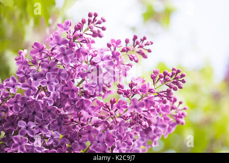 Bunch of lilac flower. Violet blooming flowers background. soft focus - Stock Photo