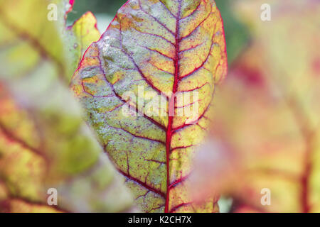 Beta vulgaris. Young Swiss chard 'bright lights' in a vegetable patch - Stock Photo