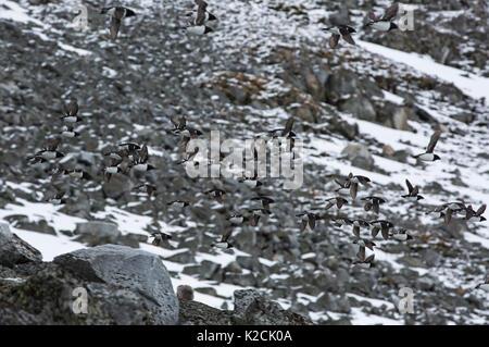 Little Auks, Alle alle, flock flying over scree slopes at breeding colony. Taken in June, Magdalenefjord, Spitsbergen, - Stock Photo