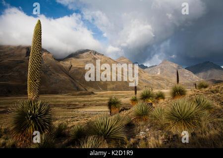 Queen of the Andes (Puya raymondii) plants in steppe, Cordillera Blanca Massif, Andes, Peru, November. - Stock Photo
