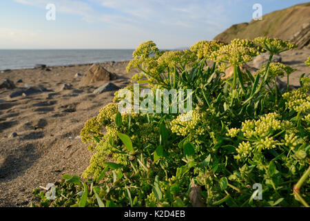 Rock samphire / Sea fennel (Crithmum maritimum) flowering high on a sandy beach, near Bude, Cornwall, UK, September. - Stock Photo
