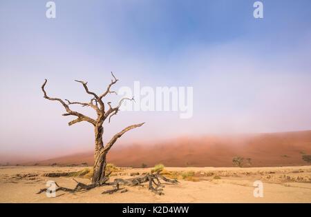 Ancient dead Camelthorn tree (Vachellia erioloba) trees with red dunes, Namib desert, Deadvlei, Sossusvlei, Namibia. August 2015.