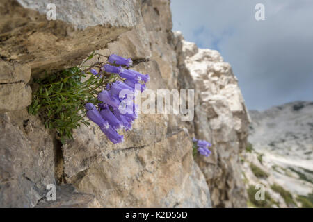Zois' bellflower (Campanula zoysii) growing in a crevice on a limestone cliff face. Triglav National Park, Julian - Stock Photo