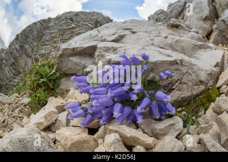 Zois' bellflower (Campanula zoysii) growing on limestone scree. Triglav National Park,  Julian Alps, Slovenia. July. - Stock Photo