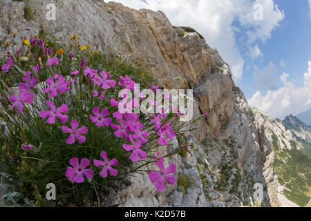 Woodland pink (Dianthus sylvestris) growing on limestone cliff. Triglav National Park, Julian Alps, Slovenia. July. - Stock Photo