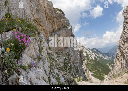 Woodland pink (Dianthus sylvestris) growing on limestone cliff. Triglav National Park, Julian Alps, Slovenia. July - Stock Photo