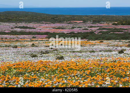 Spring wild flowers, Postberg section, West Coast National Park, Western Cape, South Africa, September 2015 - Stock Photo
